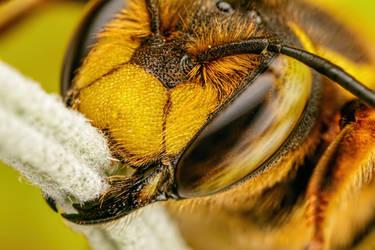 European Wool Carder Bee II by dalantech