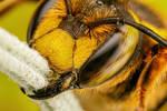 European Wool Carder Bee II