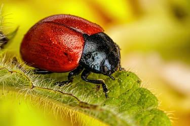 Beetle on a Leaf by dalantech