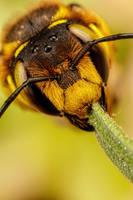 European Wool Carder Bee IX by dalantech