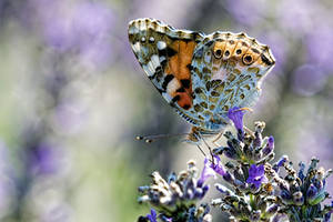 Butterfly in Lavender I by dalantech