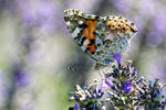 Butterfly in Lavender I