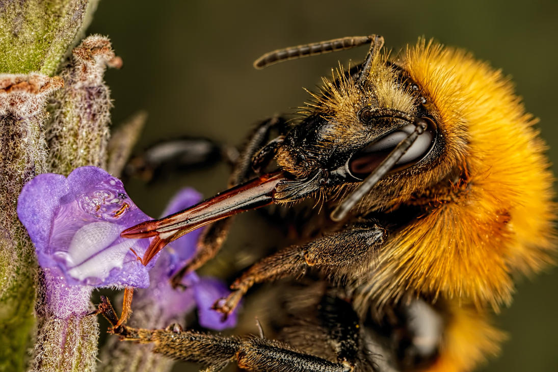 Feeding Common Carder Bee by dalantech