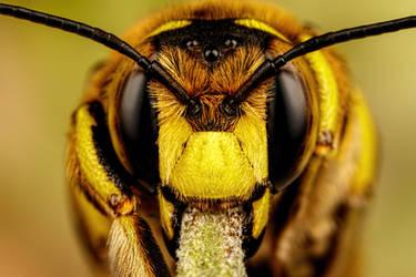 European Carder Bee II by dalantech