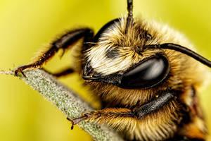Mason Bee VI by dalantech