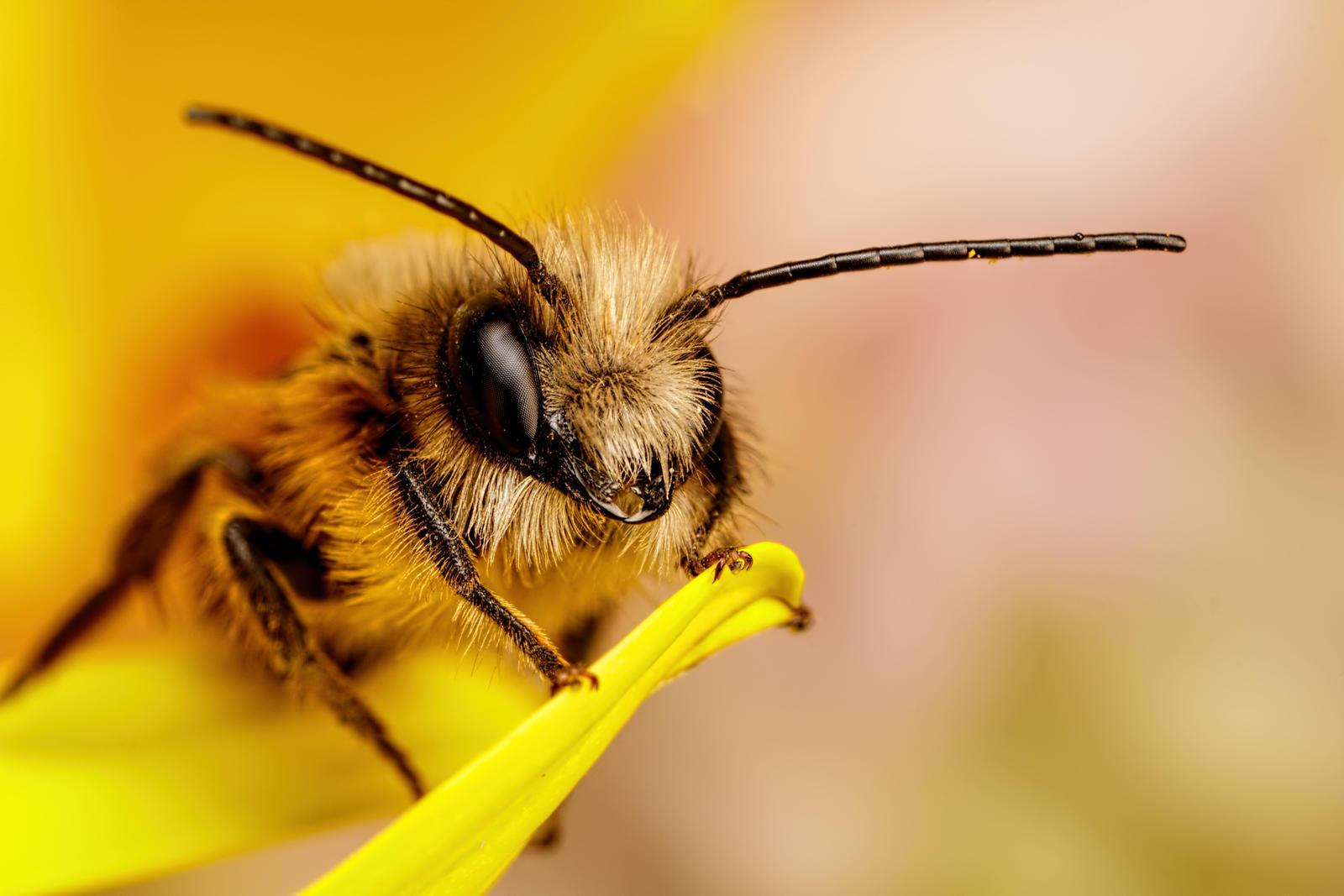 Red Mason Bee I by dalantech