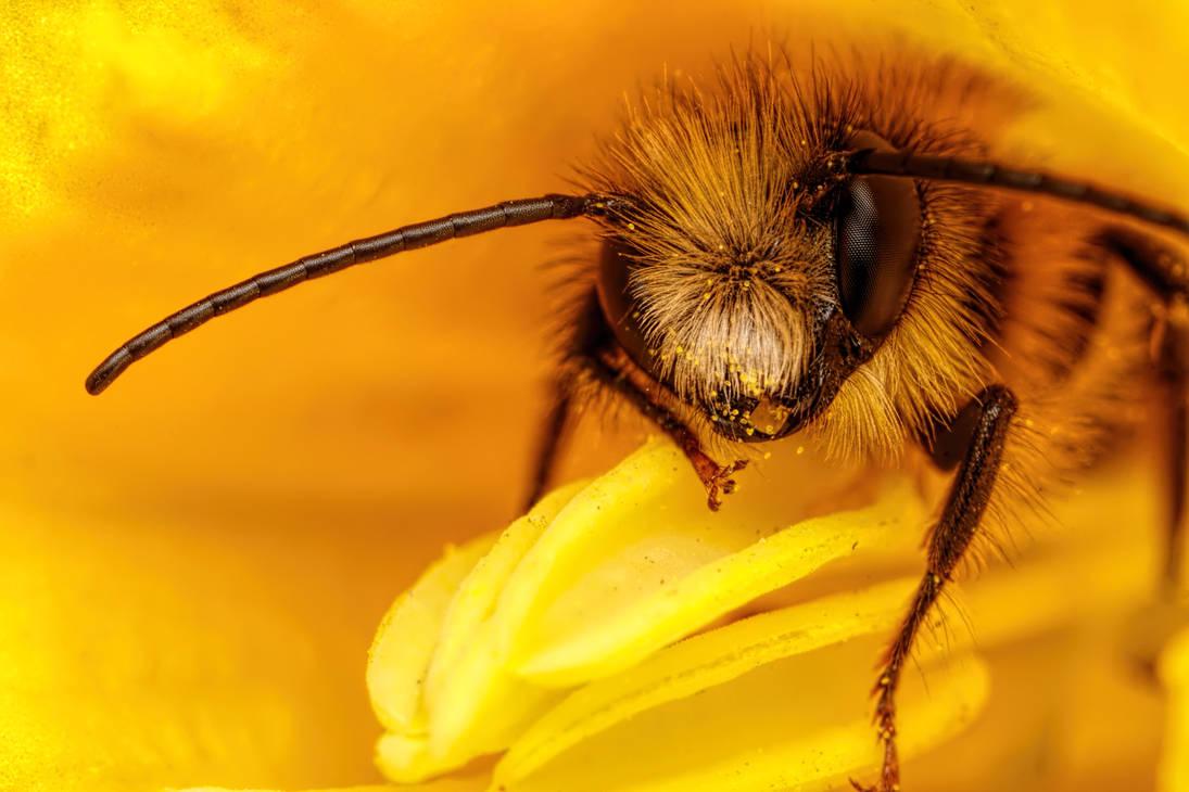 Red Mason Bee III by dalantech