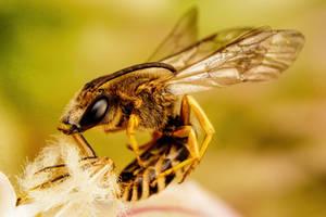 Sleeping Solitary Bee I by dalantech