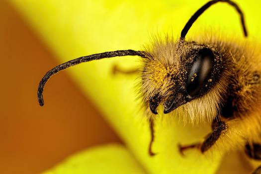 Red Mason Bee I