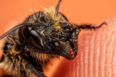 Female Red Mason Bee by dalantech