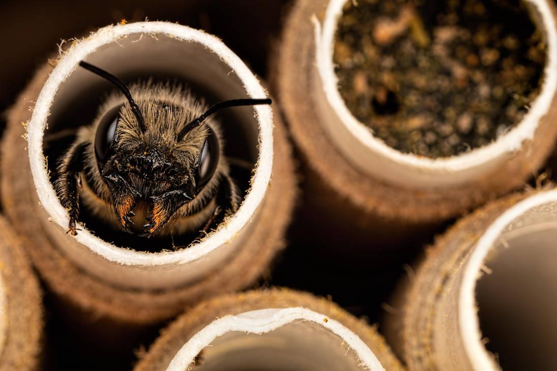 Female Red Mason Bee by dalantech