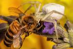 Feeding Crab Spider