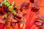 Feeding Soldier Beetle in Poppy I