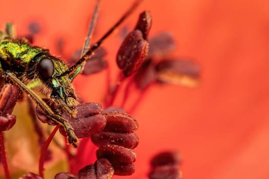 Feeding Soldier Beetle in Poppy II