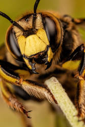 Wool Carder Bee on the Move by dalantech