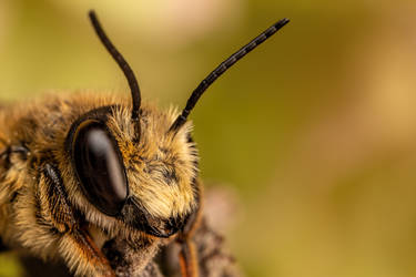 Leaf Cutter Bee by dalantech