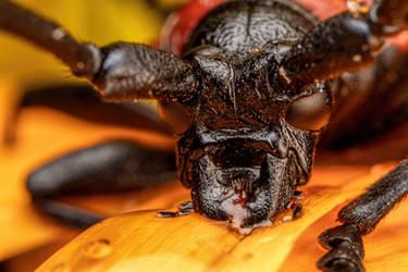 Feeding Long Horned Beetle II by dalantech