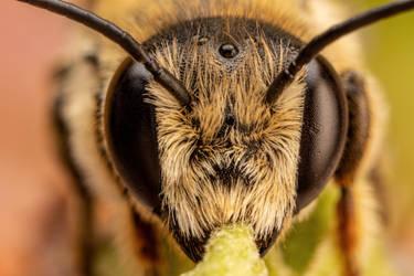 Leaf Cutter Bee II by dalantech