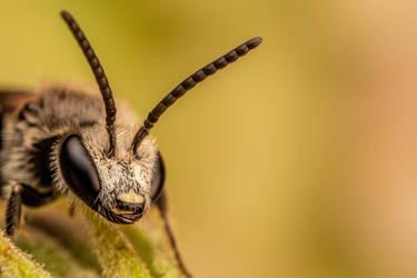 Sweat Bee II by dalantech