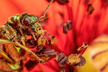 Feeding Soldier Beetle in Poppy III by dalantech