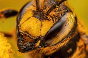 European Wool Carder Bee by dalantech