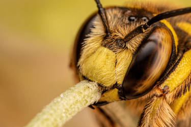 Snoozing European Wool Carder Bee IV by dalantech