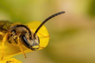 Sweat Bee III