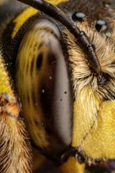Snoozing European Wool Carder Bee VII