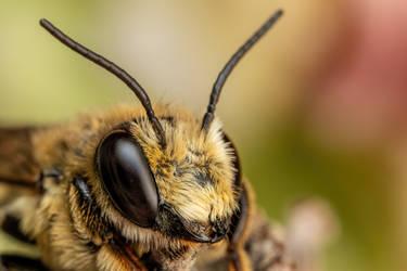 Leaf Cutter Bee VI