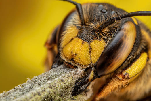Snoozing European Wool Carder Bee VIII