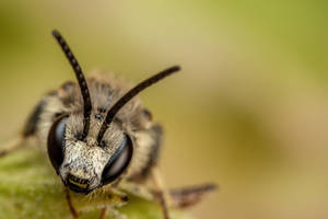 Sweat Bee VI