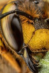 Snoozing European Wool Carder Bee XI