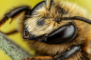 Mason Bee XI