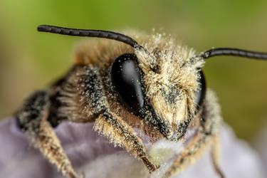 Mason Bee XII