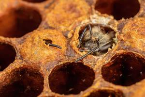 Honeybee Birthday III