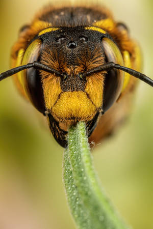 Snoozing European Wool Carder Bee XII