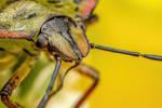 Shield Bug II