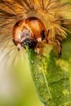 Caterpillar Feeding on Mint III