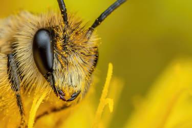 Solitary Bee II