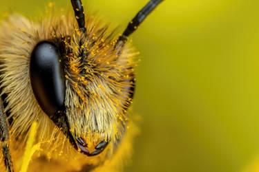 Solitary Bee III