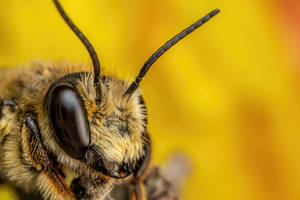 Leaf Cutter Bee VIII