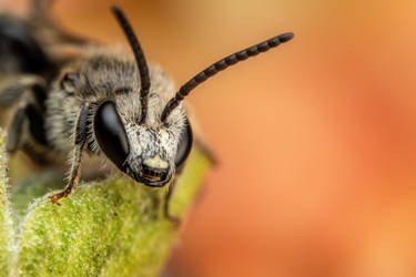 Sweat Bee VIII