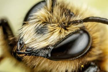 Mason Bee XVI