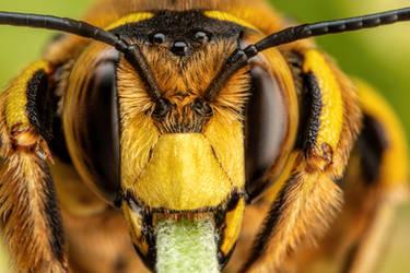 Snoozing European Wool Carder Bee XV