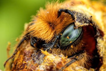 Emerging Blue Mason Bee