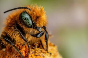 Emerging Blue Mason Bee II