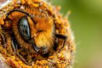 Emerging Blue Mason Bee III