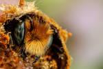 Emerging Blue Mason Bee V