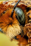 Emerging Blue Mason Bee VI