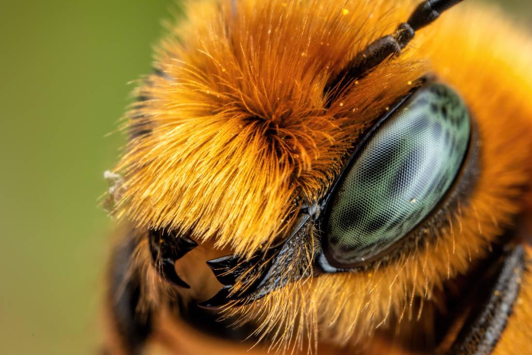 Newly Emerged Blue Mason Bee by dalantech